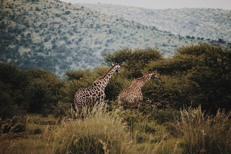 Two giraffes running about in a nature reserve