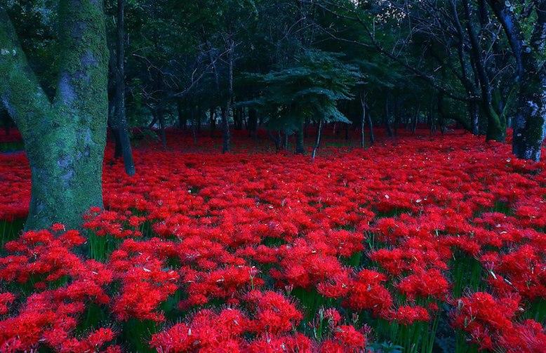 Kinchakuda Manjushage Park Red Spider Lillies