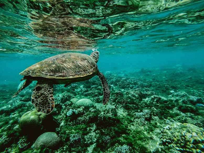 Turtle swimming in the Great Barrier Reef, a world heritage site.