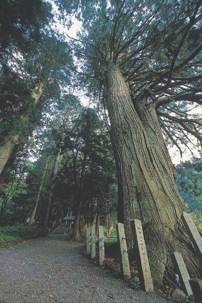 Kumanofude wood